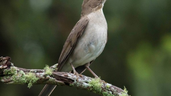 Sabiá poca (ou sabiá-branco) é comum na América do Sul
