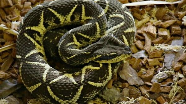 Cobras venenosas utilizam o veneno para matar e digerir suas presas