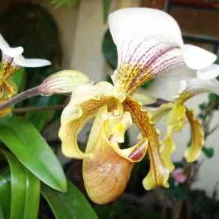 Orquídea sapatinho tem labelo que se parece com uma concha ou saco