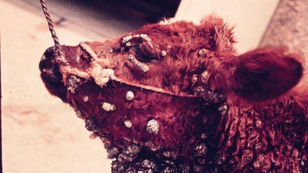 Papilomatose é causada por vírus e gera tumores epiteliais benignos