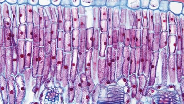 Parênquima é nome de uma célula específica de um órgão ou glândula
