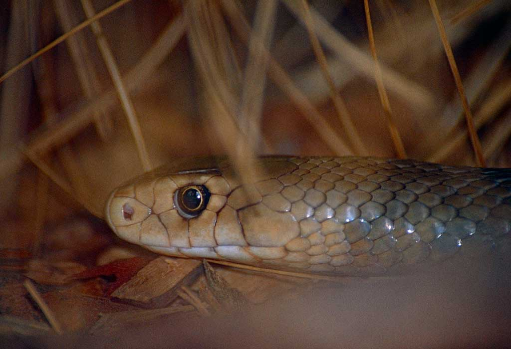 Cobra marrom