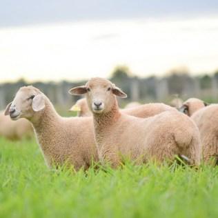 Criação de ovinos tem espaço garantido no agronegócio brasileiro
