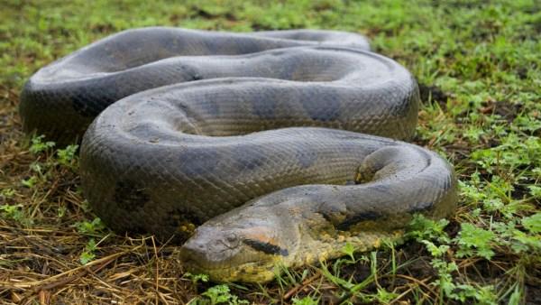Maiores cobras do mundo: conheça 5 delas e surpreenda-se