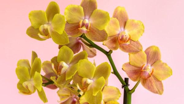 Orquídea amarela, sinônimo de alegria, é muito utilizada na decoração