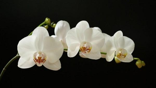 Orquídea branca é tradicional em festas e celebrações