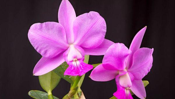 Orquídea cattleya é famosa pelo fácil cultivo e beleza das flores