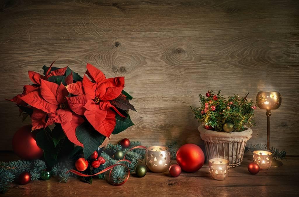 Flor do Natal