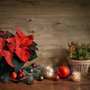 Flor do Natal, também conhecida como poinsétia, é originária do México