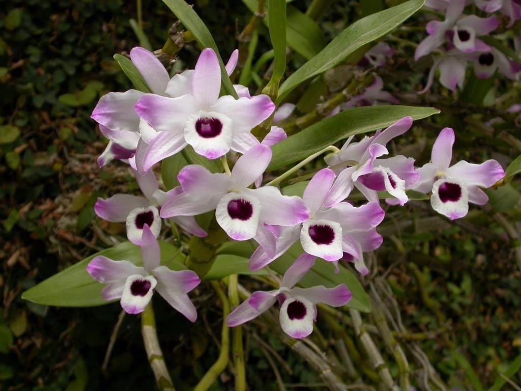 Orquídea olhos de boneca
