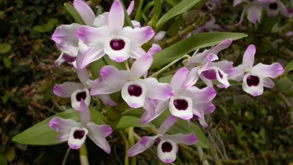Orquídea olhos de boneca tem flores duradouras e bonitas