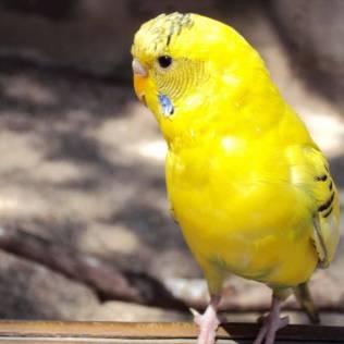 Periquito amarelo é comum no Brasil, Bolívia, Paraguai e Argentina