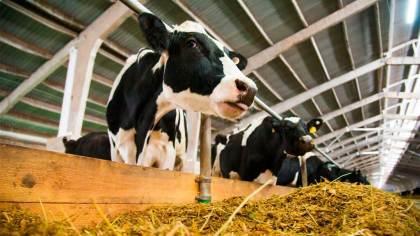 Tripanosomose é doença parasitária que afeta bovinos