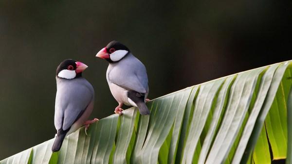 Calafate, pássaro de penas sedosas, é originário da Indonésia