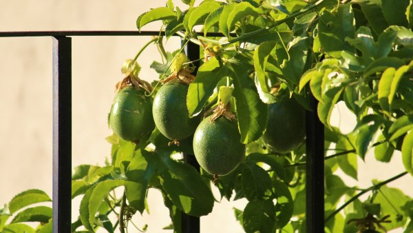 Maracujazeiro é a trepadeira dá origem ao fruto do maracujá