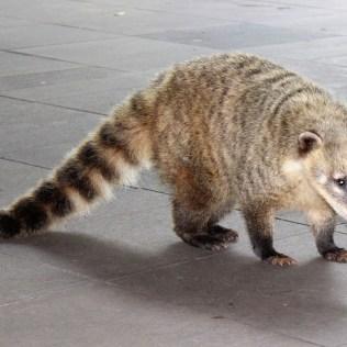 Quati é encontrado desde o Arizona até o norte da Argentina