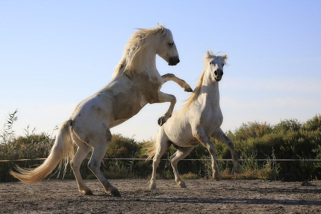 Reprodução de cavalos