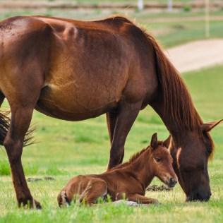 Reprodução de cavalos pode ocorrer de forma natural ou artificial