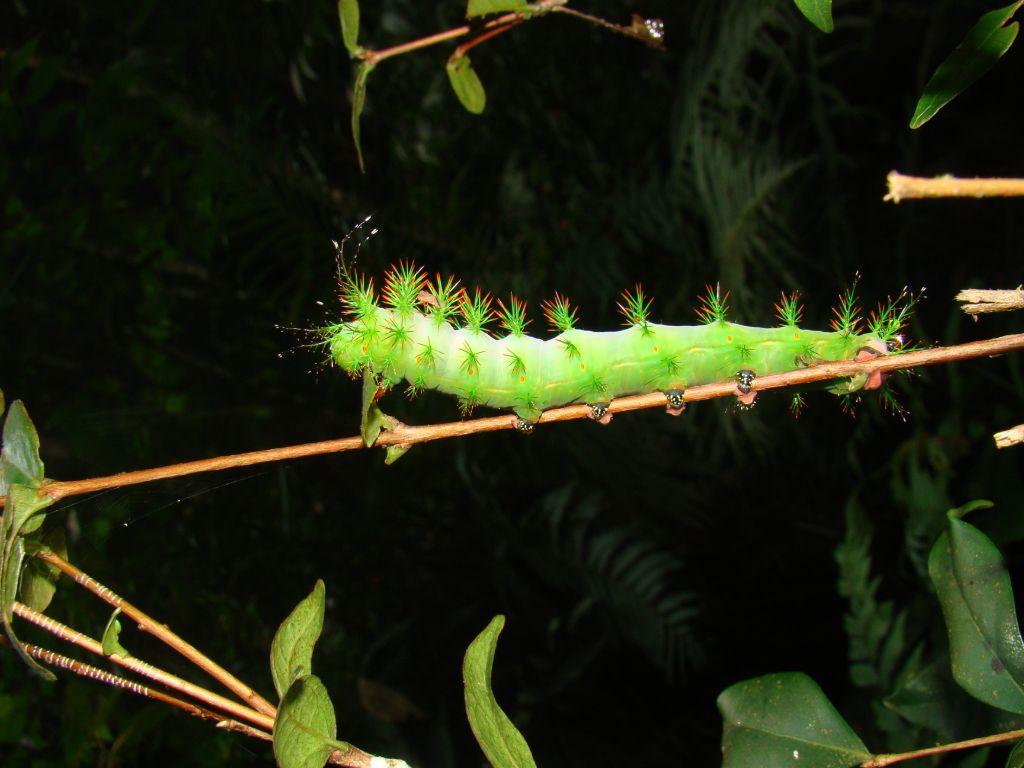 Taturana verde