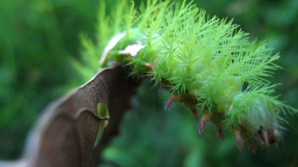 Taturana verde geralmente afeta culturas de amora preta e café