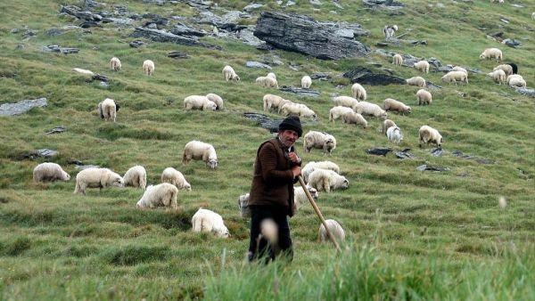 Pastoreio é o ato de guiar, manejar ou vigiar um rebanho no pasto
