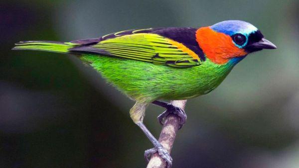 Saíra é o nome de várias espécies de aves do Brasil