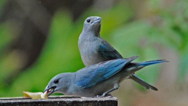 Sanhaço é pássaro mais comum na cor cinza, mas há outras cores