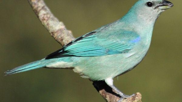 Sanhaço azul é uma espécie que adora comer frutas