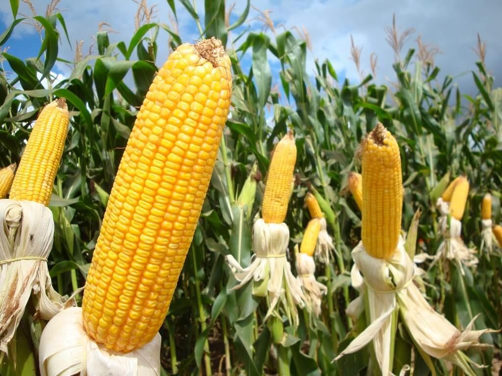 Debulhador de milho