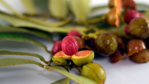 Ucuúba é semente (ou fruta) proveniente de árvore da Amazônia
