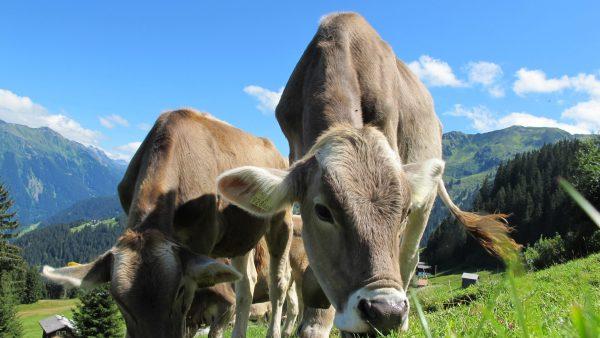 Qualidade do capim para gado depende de nutrição e rotatividade