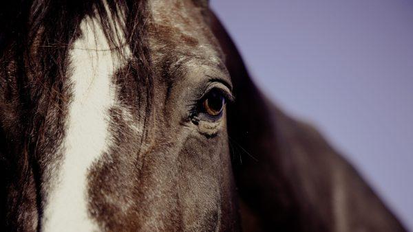 Cavalo nordestino: conheça as características da raça brasileira