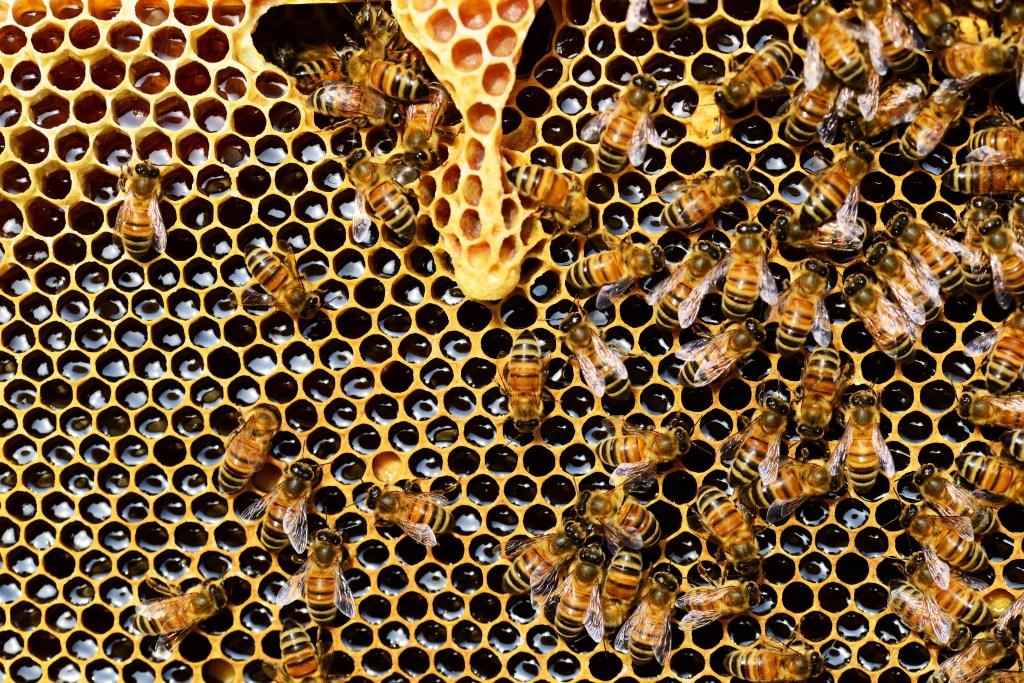 abelhas operárias no favo de mel na colmeia