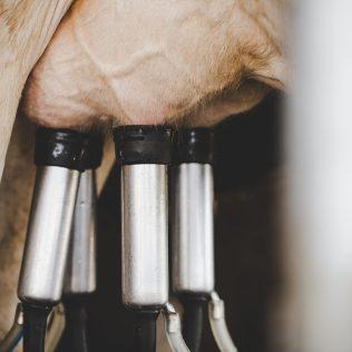 Ordenha mecânica garante agilidade na produção leiteira