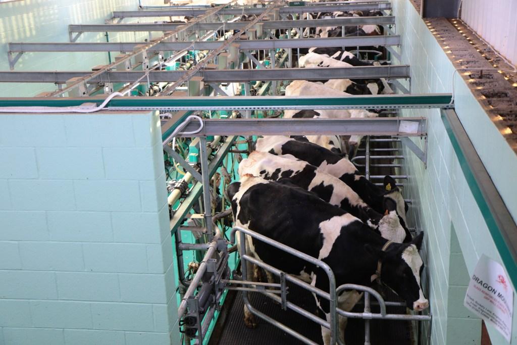 vacas pintadas em ordenha mecânica