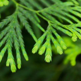 Cipreste é uma espécie de árvore que simboliza o luto e a tristeza