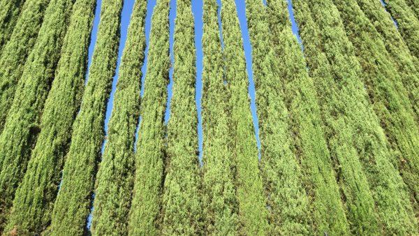 Cipreste italiano é opção para quem deseja plantar uma árvore em casa