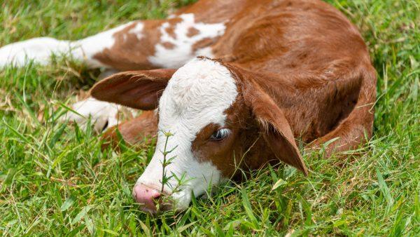 E. coli é bactéria que causa a colibacilose e afeta diversos animais