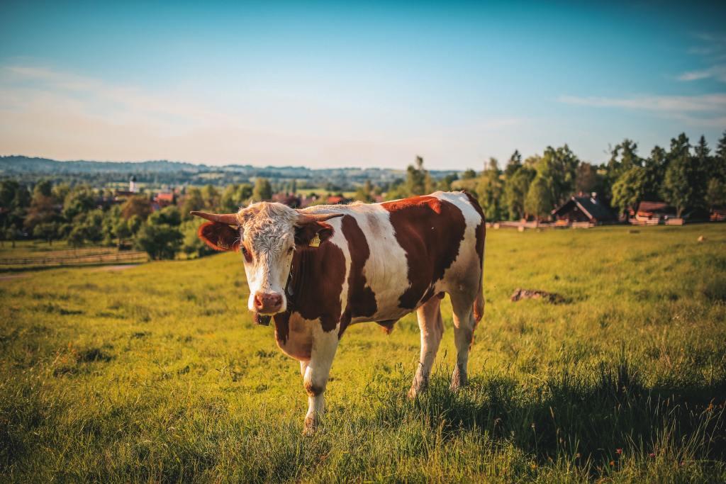 vaca em pastagem perene
