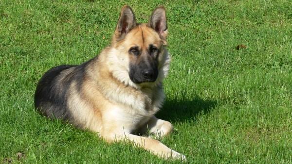 Pastor alemão é um dos cães indicados para pastoreio de ovelhas e gado
