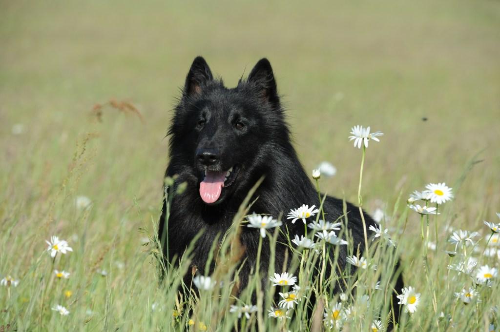 pastor belga deitado no campo