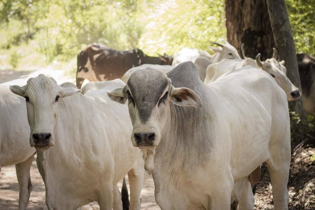 vacas branco e cinza olhando pra câmera