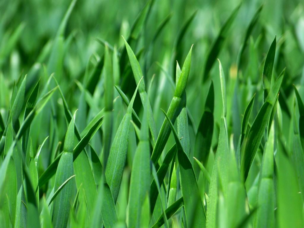 sementes de pastagem