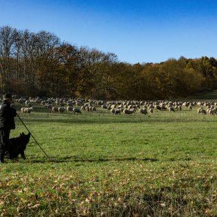 Cães pastores: conheça 11 raças do tipo que são inteligentes e ágeis