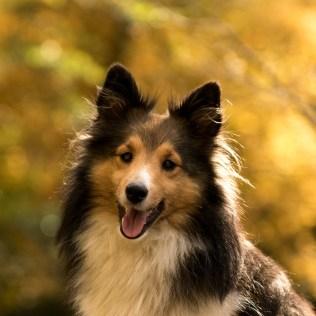 Pastor de shetland é um cão excelente em atividades de pastoreio
