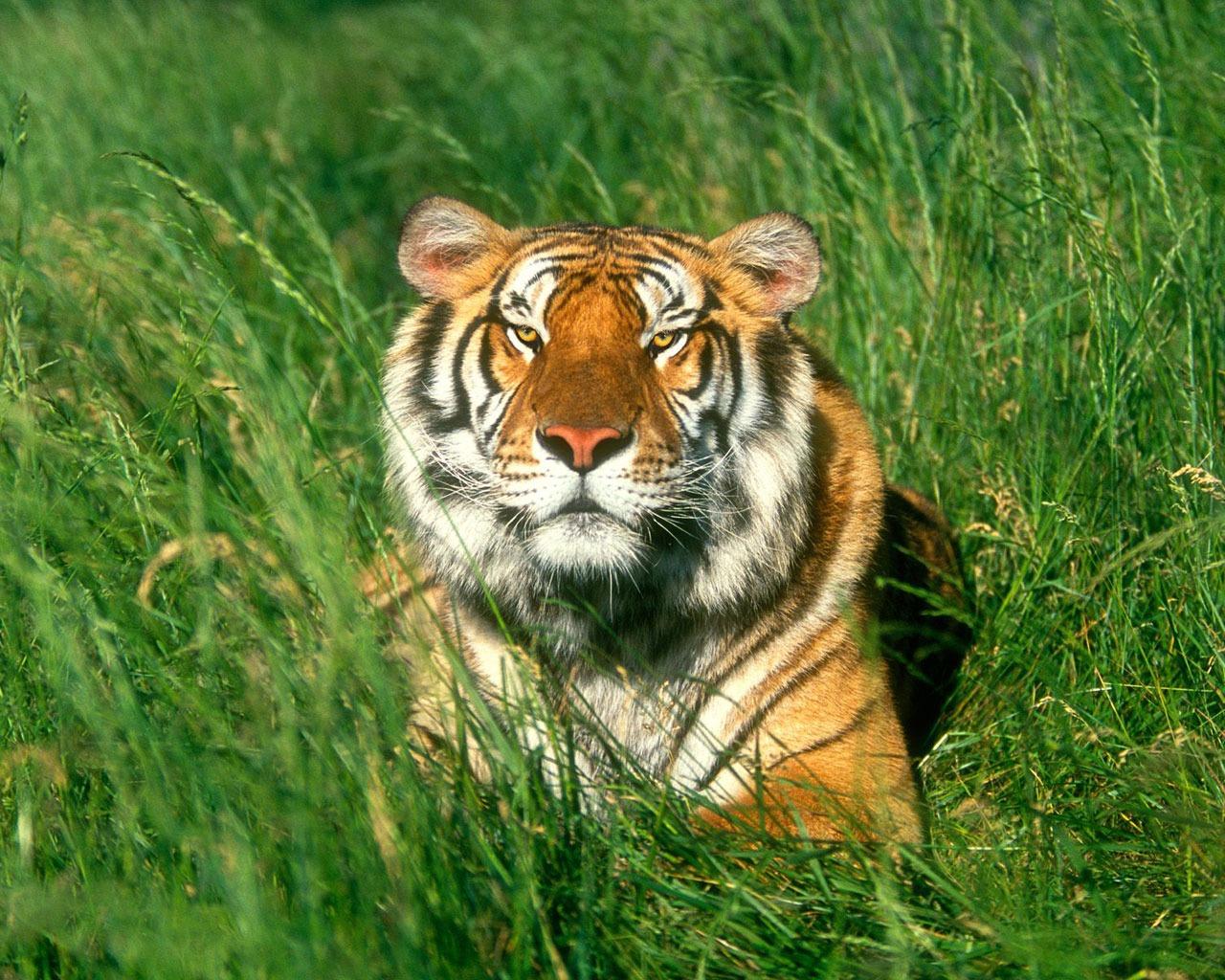 sunbather bengal tiger wallpaper tigers animals wallpapers in jpg