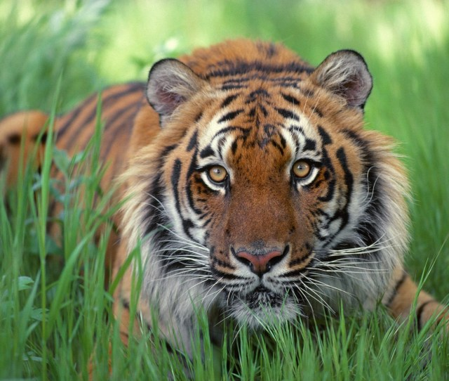 Watchful Eyes Bengal Tiger Wallpaper Tigers Animals Wallpapers