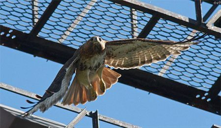 A    Birder on the Ground    Captures Lovely Behind the Scenes Photos of     big red female red tailed hawk of cornell hawks cam
