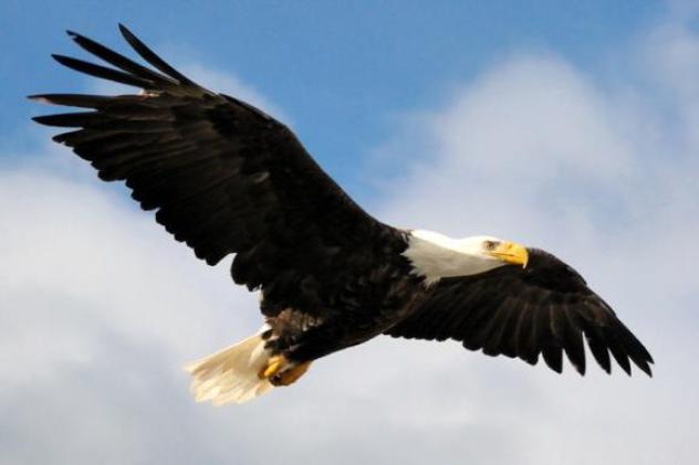 Вільний орел - символ США