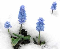 Grape hyacinths blooming through the snow